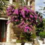 Bougainvillea in Sorrento