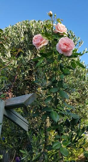 Maxima Romantica.... (Rosa Maxima Romantica.)