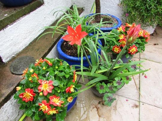 Dahlia 'Cindy' and Amaryllis belladonna.  (Amaryllis belladonna (Belladonna lily))
