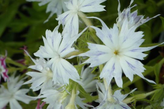 A shot of my little white phlox (Phlox paniculata (Perennial phlox))