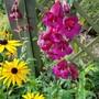 Perennial pairing.... (Penstemon)