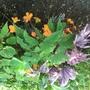 Begonia x sutherlandii (Begonia x sutherlandii)
