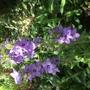 Campanula primulifolia (Campanula primulifolia)