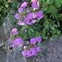 Phlox maculata (Phlox maculata)