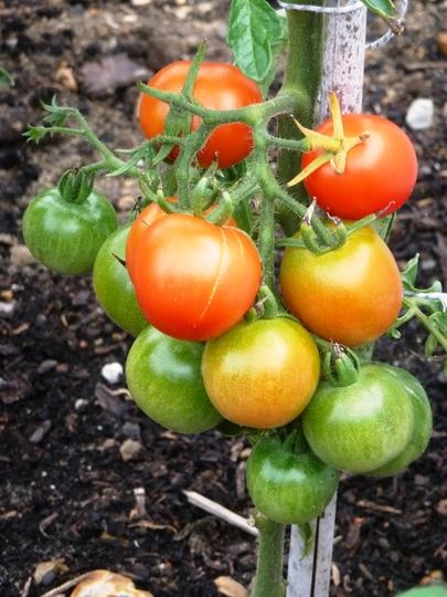 Manx marvel Tomatos