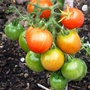 Manx marvel Tomatos