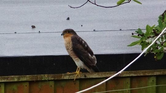 Sparrowhawk on the fence.