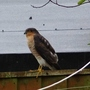 Sparrowhawk on the fence.