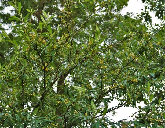 Cotoneaster exburiensis berries ripening (Cotoneaster exburiensis)