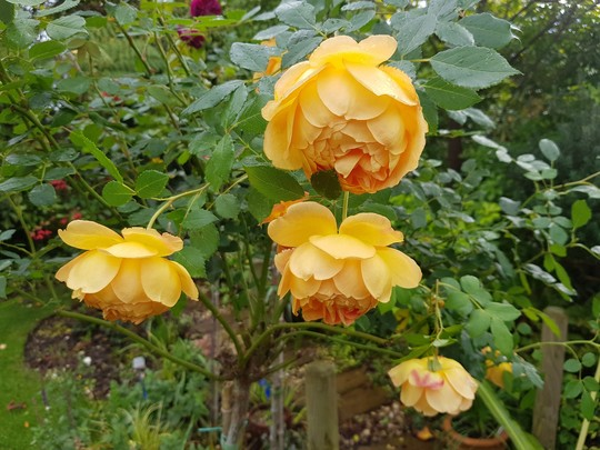 Lady of Shalott...... (Rosa Lady Of Shalott.)