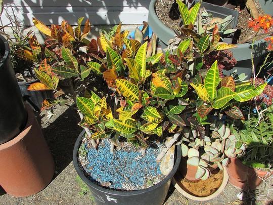 2 Summer old Petra Croton. (Codiaeum variegatum)