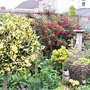 View of garden with big hardy Fuchsia Mrs Popple