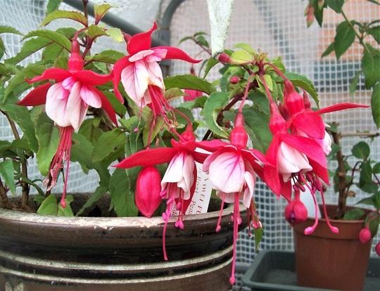 Fuchsia 'Strawberry Delight'