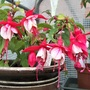 Fuchsia 'Strawberry Delight'