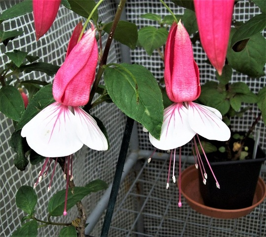 Fuchsia 'Citation'