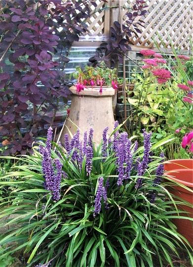Liriope, and Fuchsia 'Moonlight Sonata' in the chimney pot