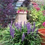 Liriope, and Fuchsia 'Moonlight Sonata' in the chimney pot