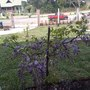 First Blooming (Wisteria japonica)