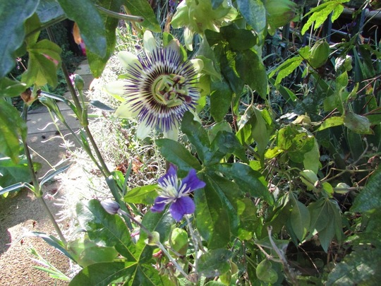 Clematis and Passion flower (Passiflora caerulea (Passion flower))