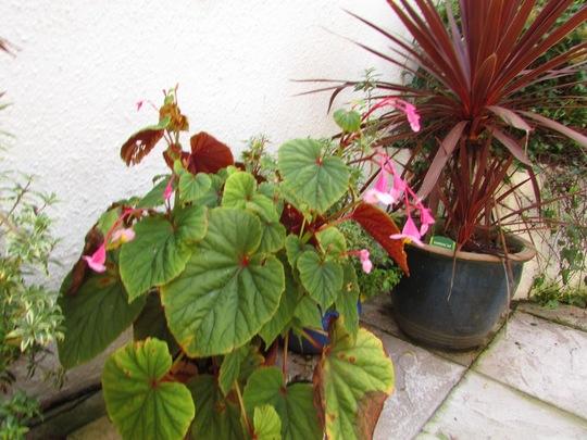Begonia.  (Begonia)