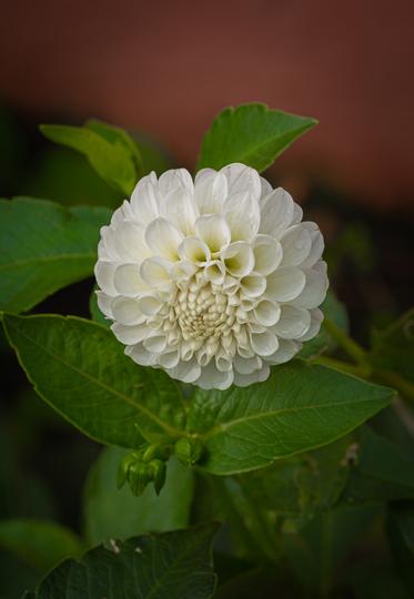 White Dahlia Pompom