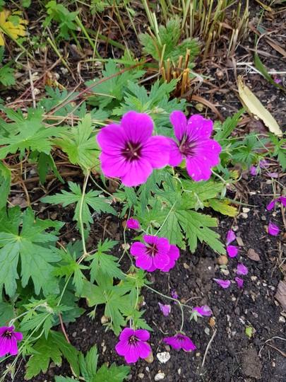 Hardy Geranium Patricia.... (Geranium Patricia..)
