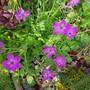 Erodium Manescavaii..... (Erodium Manscavii....)