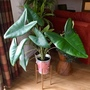 Look at my monster Alocasia Zebrina now! Its huge!