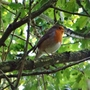 Robin singing away up in a tree while we were walking at Carsington Reservoir.
