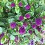 Purple dwarf Hebe. (Hebe)