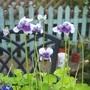 Viola hederifolia