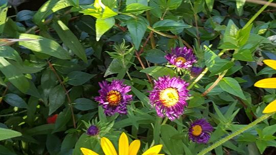 Aster Violetta in the sunshine