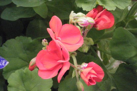 Odd Geranium Bloom (pelargonium hortorum)