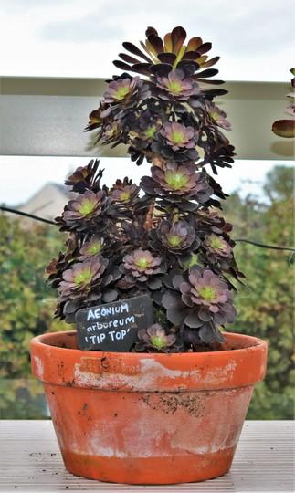 Aeonium arboreum 'Tip Top' in its new pot.