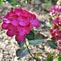 Hydrangea 'Red Angel' The final flower (Hydrangea macrophylla (Hortensia))