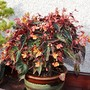 Time for bed...another sleepy begonia