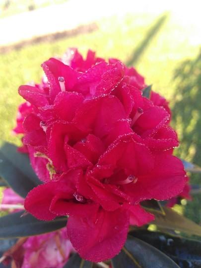 Rhododendrum (Rhododendrum)