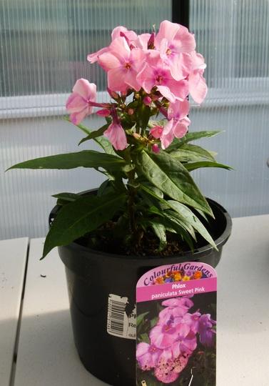 Phlox paniculata 'Sweet Summer Pink' (Phlox paniculata (Perennial phlox))