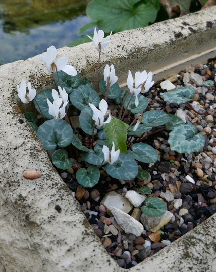 Cyclamen intaminatum - 2019 (Cyclamen intaminatum)