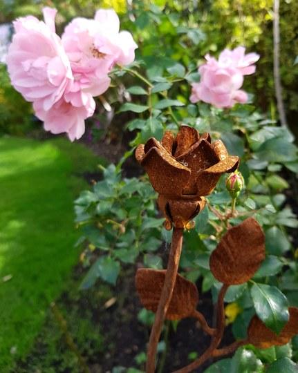 Rosa Pretty Polly...
