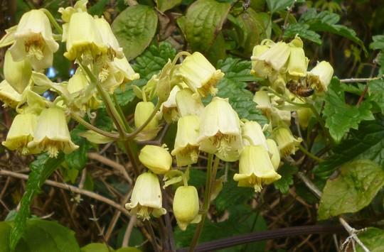 Clematis rehderiana (Clematis rehderiana)