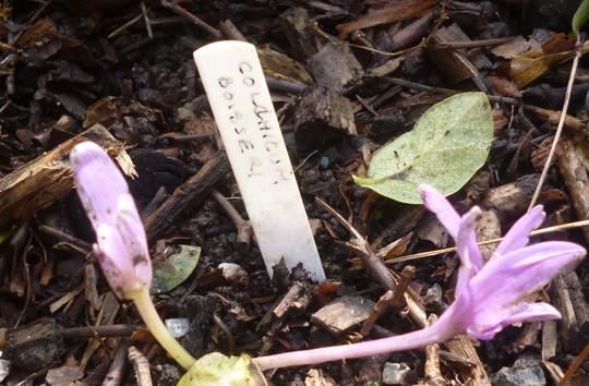 Colchicum boissieri (Colchicum boissieri)