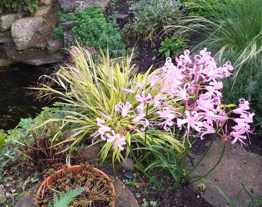 Poolside Nerines