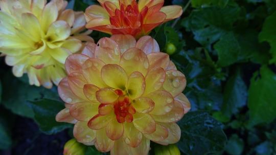 Dahlias still flowering o.k.