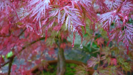 Acers turning Autumnal