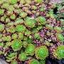 Succulents. (Sedum album (Aizoum))