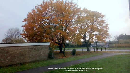 Trees with autumn colours in Mayfield Road Huntingdon 6th November 2018 001