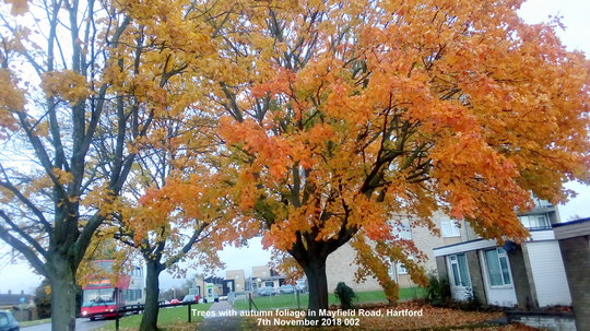 Trees with autumn foliage in Mayfield Road Hartford 7th November 2018 00