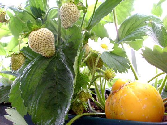 Lemon Cucumber, Strawberry