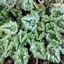 Cyclamen leaves